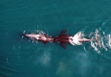 Killer whales being observed by drones