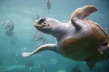 This image of a loggerhead sea turtle, which was originally posted to Flickr.com, was uploaded to Commons using Flickr upload bot on 01:30, 29 May 2010 (UTC) by Vancemiller (talk).