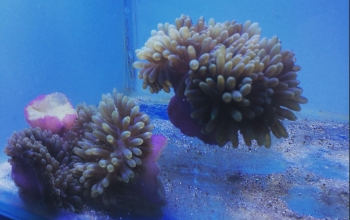 Anemones putting up a fight against coral reef bleaching